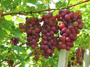 Early drop in mercury turns grapes sour for Nashik vineyard owners