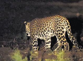 Making the leopard stay at Yamuna Biodiversity Park is real victory, say experts
