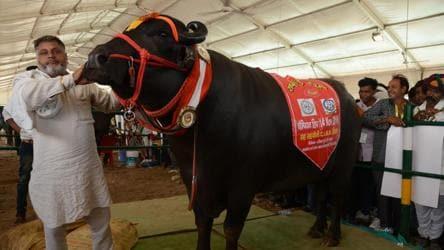 Meet Yuvraj and Sultan, Haryana's super bulls whose semen is