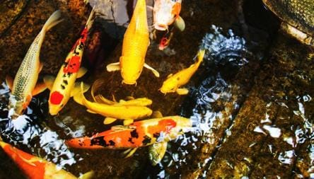 Travelling To Japan Here S Why You Should Check Out Their Koi Fish Beauty Parades Travel Hindustan Times