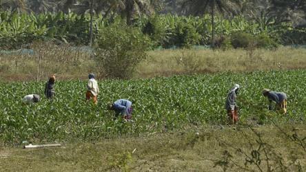 Why farmer suicides have spiked in Karnataka's sugar belt
