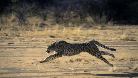 Two animals killed in road hits every day in likely cheetah habitat in MP