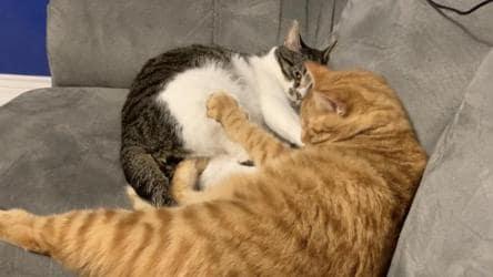 Dennis The Orange Cat Wants Snuggles But Larry The Feline Is Not Obliging Watch It S Viral Hindustan Times
