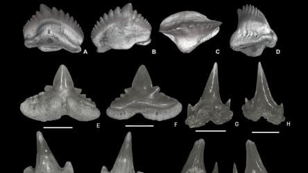 Large number of shark teeth found at Rajasthan's fossil site