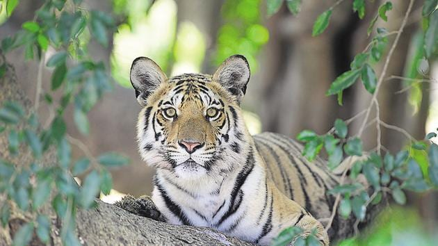 Bandhavgarh reserve has been witnessing growing incidents of man-animal conflict over the past few years, resulting in the death of both man and tigers.(Sanjay Shukla/HT PHOTO)