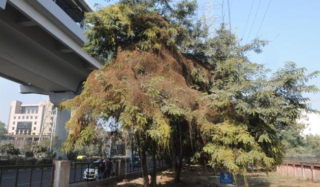 The creeper, Amar Bel, grows on the host plant and draws nutrition, causing its death.(Parveen Kumar/HT Photo)