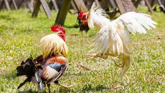 Cockfighting is a blood sport, during which razor-sharp blades are tied to the claws of two rosters.(Representative image)