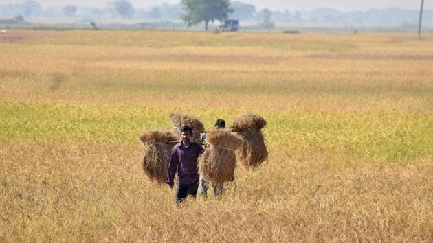 An Indian farmer carries rice seedlings from a paddy field at Nimati village, some 300 kms from Guwahati.(AFP)