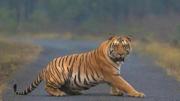 Jai went missing tiger from Nagpur forest in April.(File Photo)