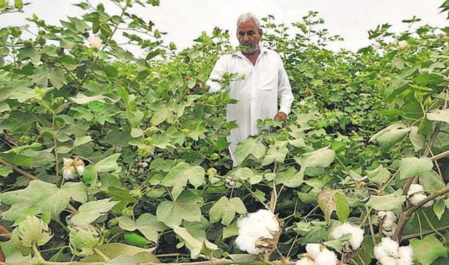 A Dalit couple was beaten up with sticks after they objected to cattle grazing, saying it would damage standing cotton crop in the farm.(HT Photo/ Representative Image)