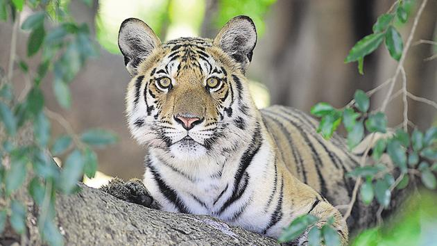 The National Tiger Conservation Authority said India lost 117 tigers this year.(Sanjay Shukla/HT File Photo)