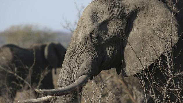 African ivory is highly sought after in China where it is seen as a status symbol and prices for a kilo can reach as much as $1,100.(AP File Photo)