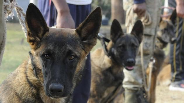 Belgian Malinois dogs being trained at Police Dog Training Centre of the 23rd Battalion of Special Armed Forces in the outskirts of Bhopal. These dogs are trained to sniff out skins and bones of tigers and leopards and track poachers and hunters. These dogs are known for their keen sense of smell, stamina for long chases and aggression.(Mujeeb Faruqui/ Hindustan Times)