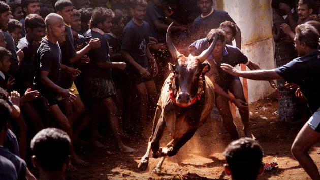 A ban on jallikattu by the Supreme Court since 2014 has been largely seen as a negation of Tamil identity.(All photos by J Suresh/ GRIST Media)