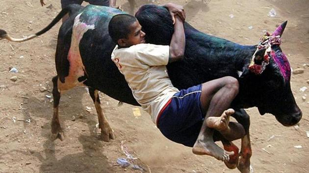 A participant tackles a bull during the annual Jallikattu festival in Palemedu, near Madurai.(AP file photo)