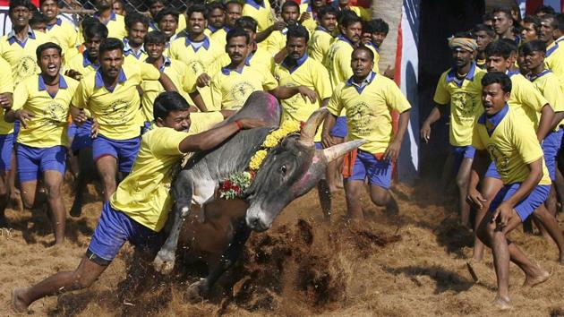 Thousands of people converged on the Marina beach in Chennai on Tuesday night seeking to lift a court ban on Jallikattu, the traditional sport of bull-taming.(AP file photo)