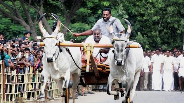 AIADMK leader SP Velumani inaugurates Cattle race after the ordinance was passed for Jallikattu, in Coimbatore on Sunday.(PTI Photo)