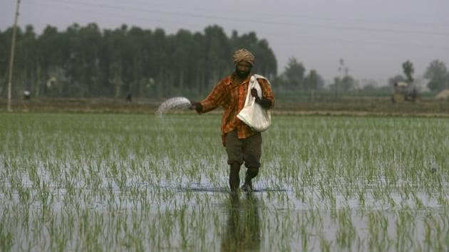 A farmer sprinkle fertilizers on a rice crop on the outskirts of Amritsar.(AP Photo)