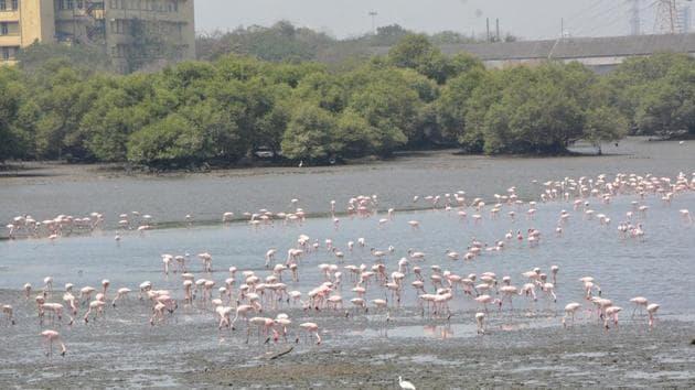 Flamingos at Sewri mudflats.