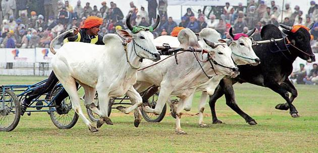 Bullock cart race was last organised in the 78th edition of the Kila Raipur sports festival in 2014.(HT Photo)