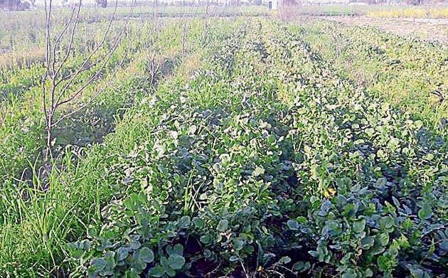 Organic farms at Gurdwara Satlani Sahib near Attari in Amritsar.(HT Photo)
