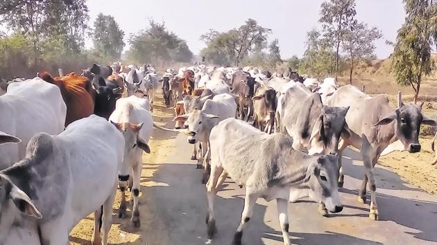 Farmers abandon their cattle during dry seasons to unburden themselves and support their families.(HT Photo)