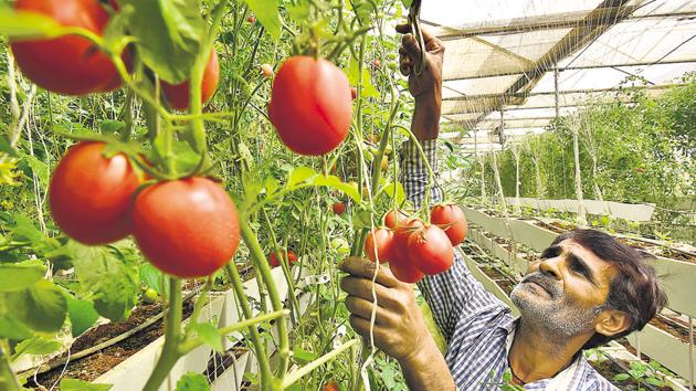 Non-fruit bearing vegetables takes less than 15 days to grow, while fruit bearing ones take about a month(Sanjeev Verma/HT Photo)
