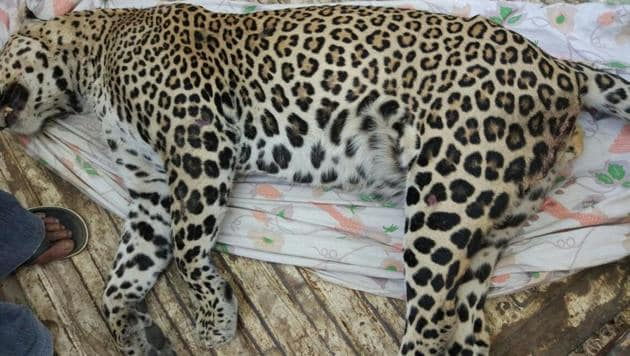 The leopard that was killed on the Mumbai-Ahmedabad highway on Friday.(HT Photo)