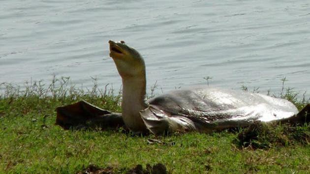 Fresh water turtle.(HT File Photo)