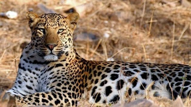 The big cat's population in Rajasthan has declined over the years.(HT Photo)