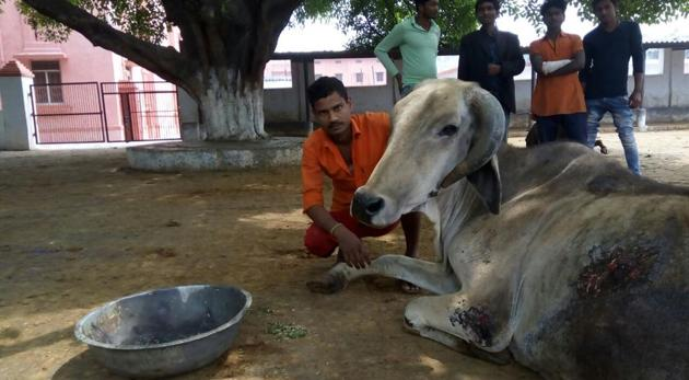 Man Mohammed, the only Muslim volunteer at the cow shelter of Gorakhnath temple which has around 500 bovines.(HT Photo)