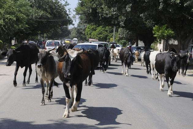 Gurgaon authorities have set the target of providing shelter to all stray cows by July 31.(HT FILE PHOTO)