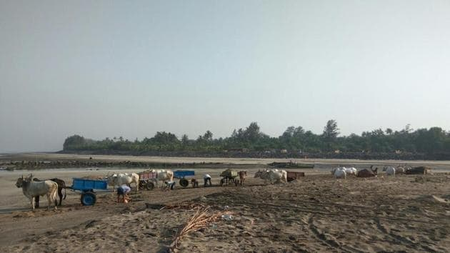 Sand being carted away by bullock carts at Kihim beach.(HT PHOTO)
