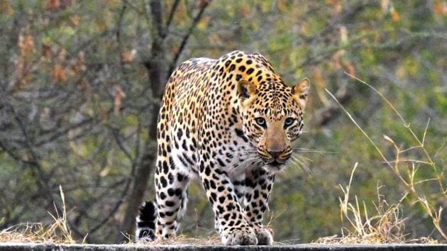 A question of territory? Kathmandu is close to forested hills and leopards are occasionally known to stray into the city.(Representational picture)