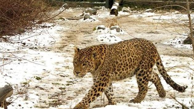 A five-year-old girl was playing in front of her house in Nashik, Maharashtra, when a leopard dragged her away and killed her.(Representative photo)