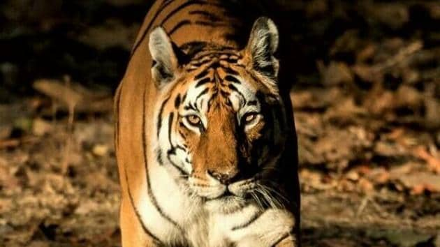 Collarwali's remarkable success at procreation stems from her tendency to let her cubs fend for themselves much before other tigresses do.(File photo)