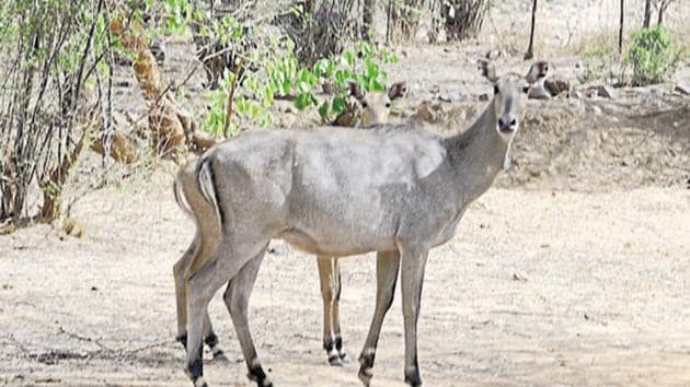 The villagers want signage cautioning commuters about the presence of wildlife such as Nilgai in the area and advising motorists to go slow.(Parveen Kumar/HT File Photo)