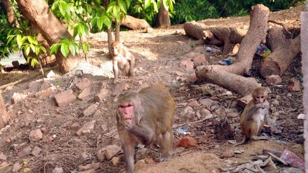 For about two years, a tribe of 30-35 monkeys have been creating havoc in the villages and terrorising people, but authorities have not been able to take action against them.(Bijay/HT PHOTO)