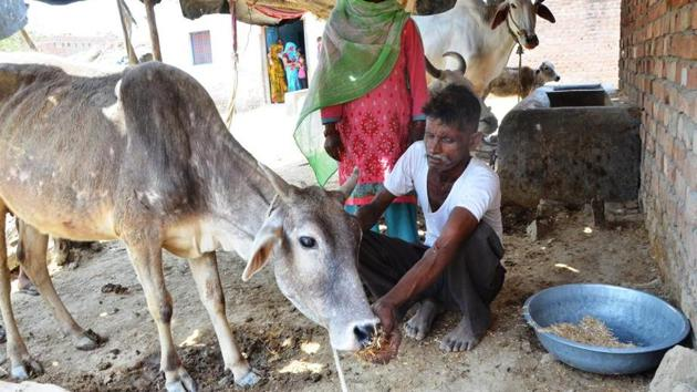 Shamsuddin Saifi with the surviving cow from his cattle. Four cows fell ill after grazing, possibly from food poisoning, resulting in three of the cows dying.(HT Photo)