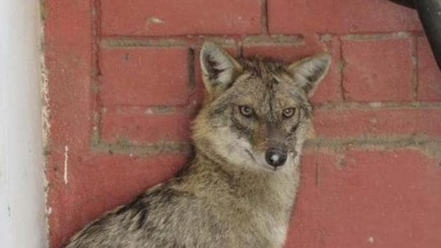 Shukla said he had spotted jackals in the area before, but they had never attacked him.(Photo for representation)
