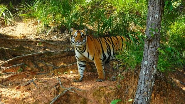 The number of tigers at the Ranthambore reserve rose to 60 in 2016, despite poaching activities.(Sudhir Mishra Kanha/HT Photo)