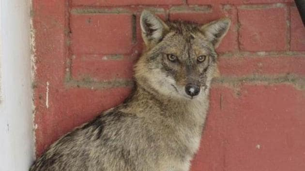 Jackals are protected under schedule III of the Wildlife Protection Act, 1972(Pic for Representation)