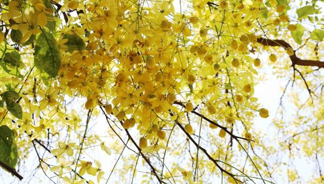 Not many people might know that the giant Amaltas at Teen Murti Bhavan, where Mrs Gandhi lived with her father, Jawaharlal Nehru, was planted by her younger son Sanjay.(Mayank Austen Soofi)