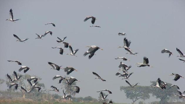 Asian Openbill Stork at Udhwa Lake bird sanctuary in Sahidbanj(HT Photo)