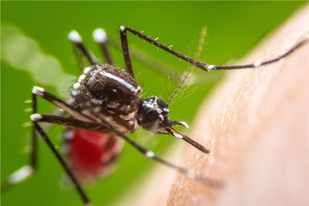 The first chikungunya and dengue virus co-infection was recorded in 1967. More recently, co-infections of all three viruses were reported during various outbreaks, including the recent outbreak of zika in North and South America.(Shutterstock)