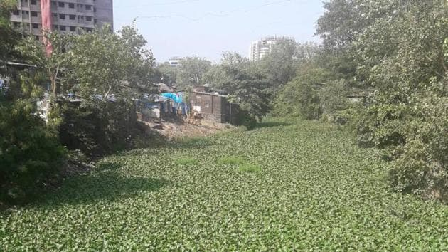 The Andheri side of the Mithi river is covered with water hyacinths.(HT photo)