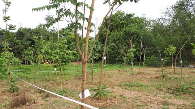 The trees that were planted at Aarey Colony.(HT)