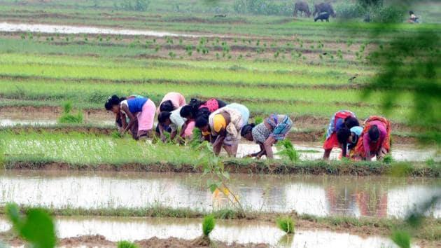 Farmers sowing paddy saplings at Nagri village in Ranchi(HT File Photo/ Diwakar Prasad)