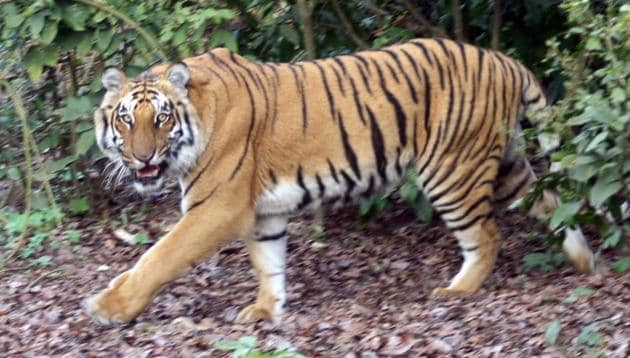 State forest department officials believe Mukundra Tiger Reserve is ready for reintroduction of tigers.(HT File)