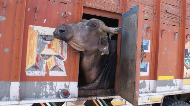 A truck transporting buffaloes(HT File Photo)